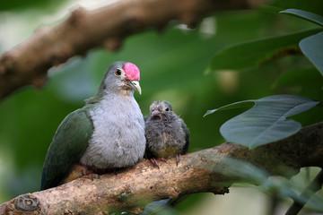 Beautiful fruit dove