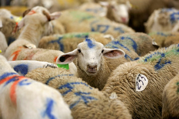 Sheep are photographed at a halal butchery ahead of their sacrificial slaughter on Eid al-Adha in Brooklyn, New York