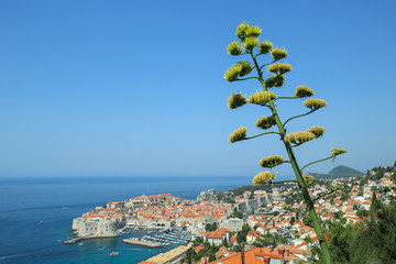 Agave flower stalk with view of Dubrovnik