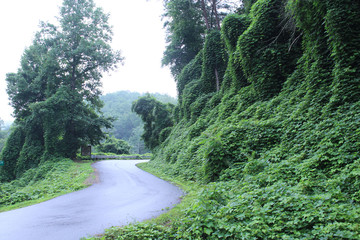 Green Ivy Leaves Invasive Plant Species in the Tennessee Mountain Areas