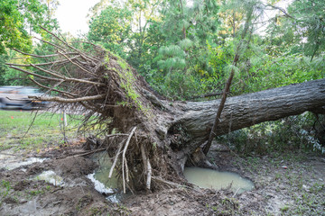 A large live oak tree uprooted by Harvey Hurricane Storm fell on bike/walk trail/pathway in suburban Kingwood, Northeast Houston, Texas, US. Fallen tree after this serious storm came through.