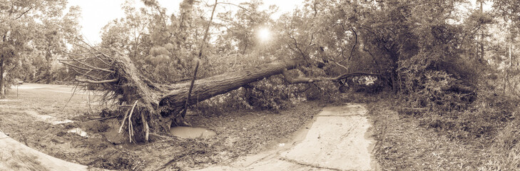 Panorama view a large live oak tree uprooted by Harvey Hurricane Storm fell on bike/walk trail/pathway in suburban Kingwood, Northeast Houston, Texas. Fallen tree after this serious storm came through