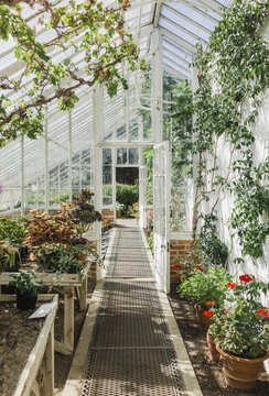Plants growing in a traditional Victorian greenhouse.