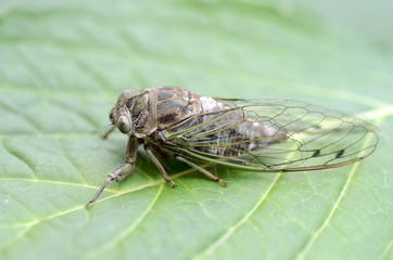 Dog-day cicada (Neotibicen canicularis) on a green leaf side view macro image