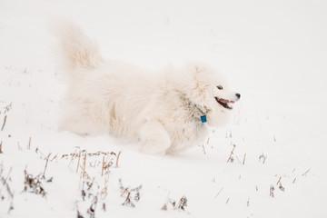 Young White Samoyed Dog Bjelkier, Smiley, Sammy Playing Running