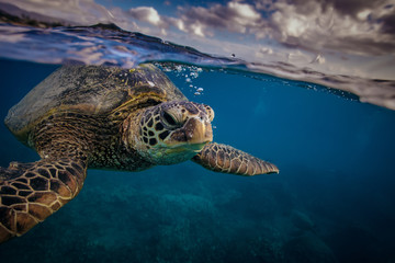 Sea turtle near water surface. Closeup portrait of aquatic animal