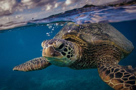 Sea turtle near water surface. Closeup portrait of aquatic animal