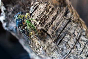 Macro of Florida Cicada on branch