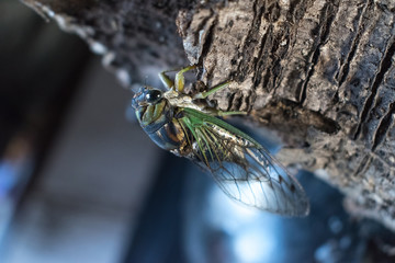 Closeup of Florida Cicada on branch