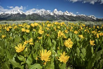 Wild Flowers and the Grand Teton NP, Wyoming