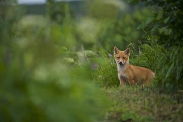 red fox (Vulpes vulpes) cubs, NcNeil, AK