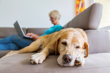 labrador retriever lies on a couch with a woman with laptop in background