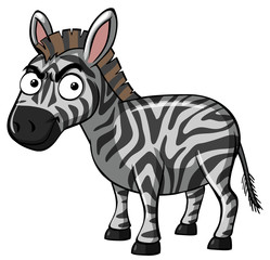 Serious zebra on white background