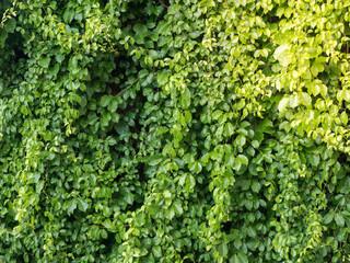 Green bush background, Dense green foliage
