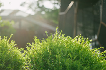Melaleuca bracteata tree
