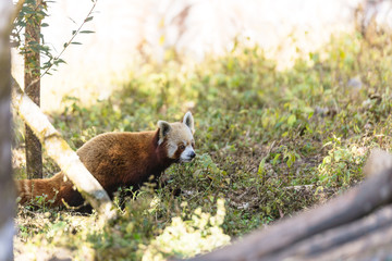 Red Panda walking on the ground with grass in Padmaja Naidu Himalayan Zoological Park at Darjeeling, India.