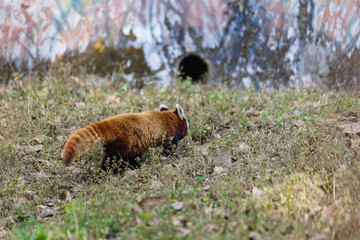 Red Panda walking on the ground with grass to his hole in Padmaja Naidu Himalayan Zoological Park at Darjeeling, India.