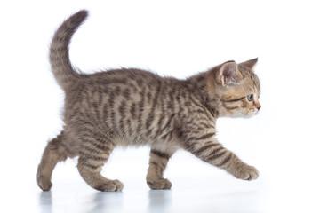 scottish cat kitten walking isolated on white background Wall mural
