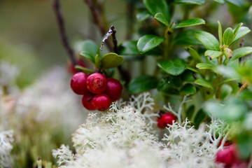 Ripe red lingonberry, partridgeberry, or cowberry grows in pine forest.