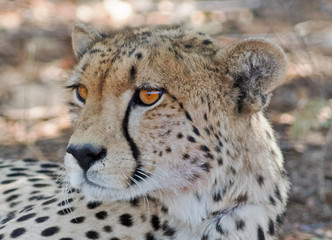 Beautiful wild Cheetah side profile looking alert in Hwange, Zimbabwe