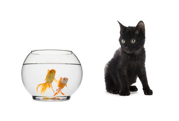 Black Cat Looking at Goldfishes Isolated