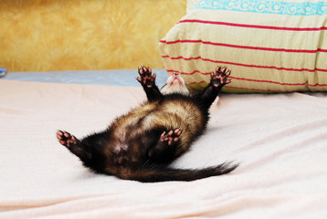 Sable ferret playing - rolling around