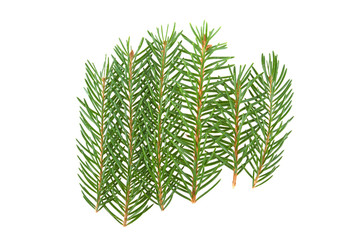 sprig of pine needles on white background