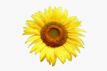 Sunflower image made watercolor by Photoshop.