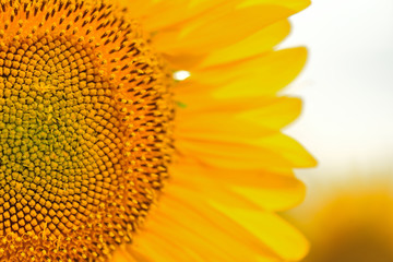 Sunflower close up. Bright yellow sunflowers. Sunflower background.