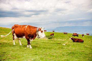 Vaches dans le Parc naturel régional du massif des Bauges