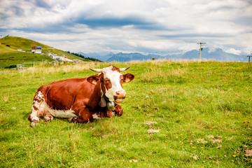 Vache dans le Parc naturel régional du massif des Bauges