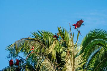 Foto op Canvas Zuid-Amerika land Grünflügel-Aras (Ara chloropterus) im Tambopata Reservat im Peruanischen Amazonas