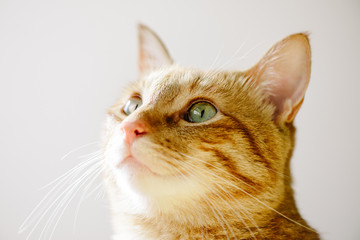Portrait of a orange tabby cat