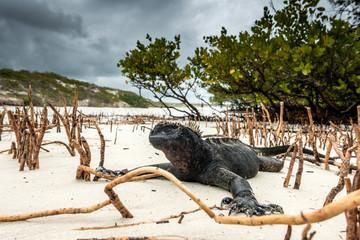 Meerechse mit Kopf voller Sand am Strand von Tortuga Bay, Isla Santa Cruz, Galapagos
