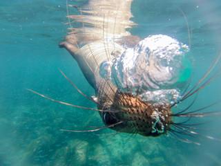 Schnorcheln mit jungen, neugierigen Galapagos-Seelöwen, Isla Lobos, Galapagos