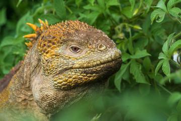 Gelber Landleguan bei Cerro Dragon, Isla Santa Cruz, Galapagos