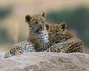 Zwei Leopardenjunge