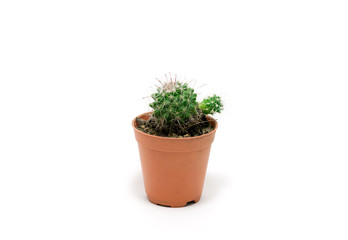 Cactus in pot on a white background