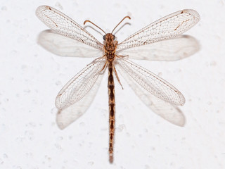 Antlion (Neuroleon ochreatus)