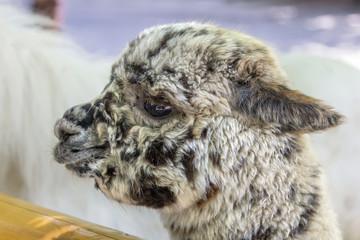 Portrait of Lama Alpaco.