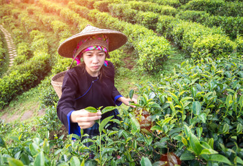 Asia women were picking tea leaves at a tea plantation,background nature.