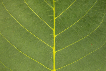 Close-up of a walnut leaf. As a background