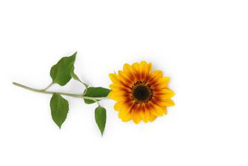 Sonnenblume liegt auf weißem Hintergrund