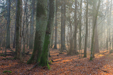 Fototapete - Autumnal misty morning in the forest