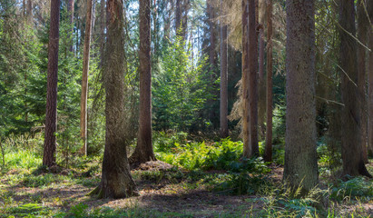 Fototapete - Old coniferous stand in summer morning