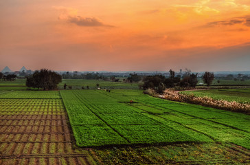 Farm field in Egypt