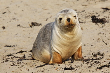Robben in Seal Bay auf Kangaroo Island in Australien