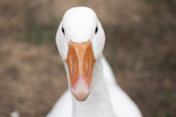 Goose look straight in camera