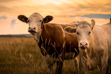 Acrylic Prints Cow Cows in sunset