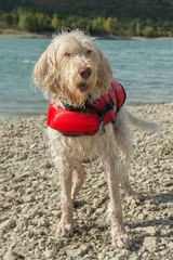 Portrait of wet lifeguard dog spinone italiano on the shore in a red lifejacket